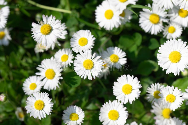 Summer daisys. White daisys in the summer sun royalty free stock photography