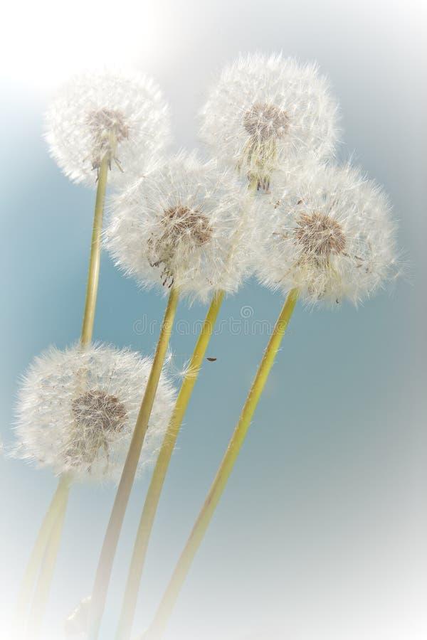 Summer dandelions royalty free stock image