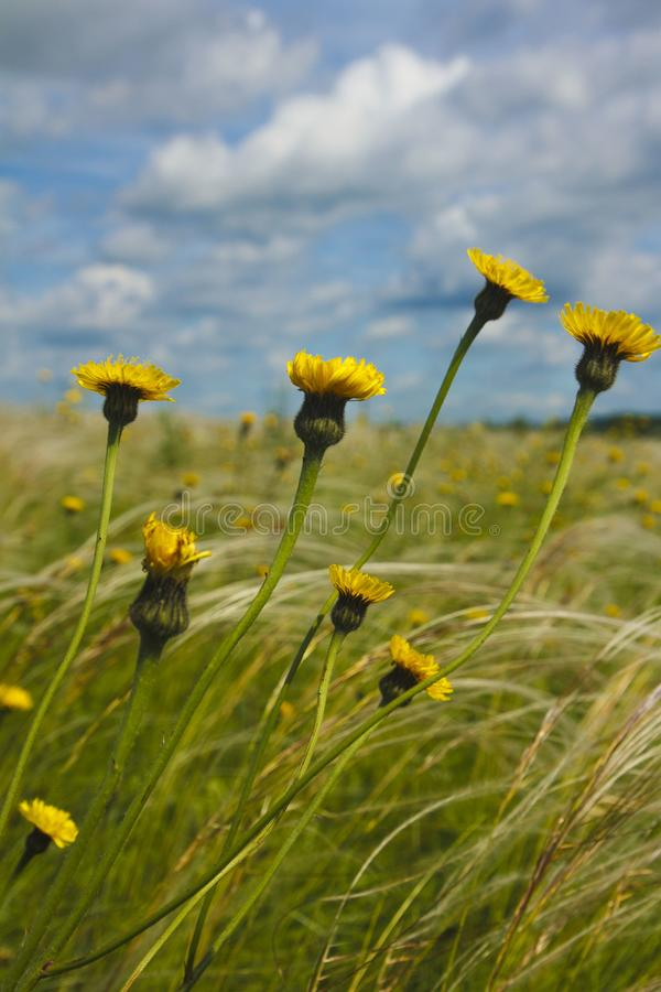 Summer day on the field with yellow flowers and wild feather grass royalty free stock photo