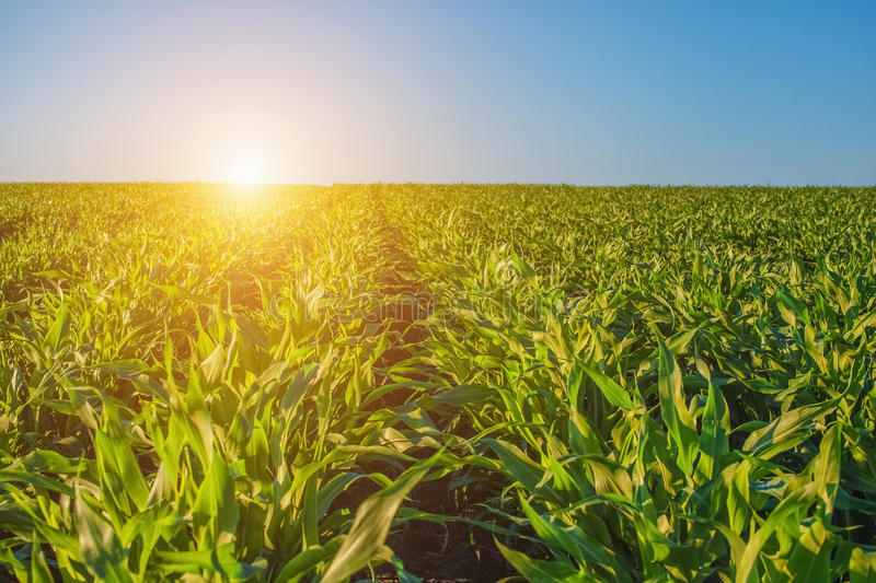 Summer day highlights the agricultural field, which is growing in neat rows, high, green, sweet corn. In the background the sun shines.The family of cereals and stock photo