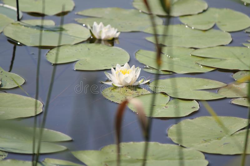 Summer day on lake with white water lilies stock photography