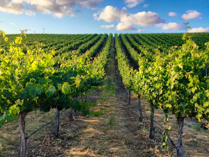 Vineyard rows during Northern California summer. On a summer day in a Northern California vineyard, rows of leafy vines create a symmetrical pattern underneath a royalty free stock photos