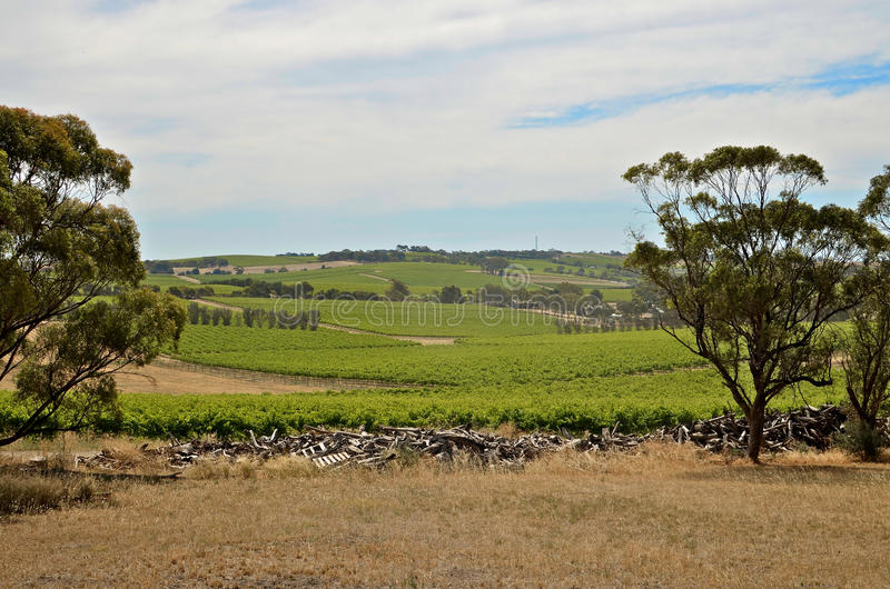 Download A Summer Day At A Vineyard In McLaren Vale Stock Photo - Image: 23652096