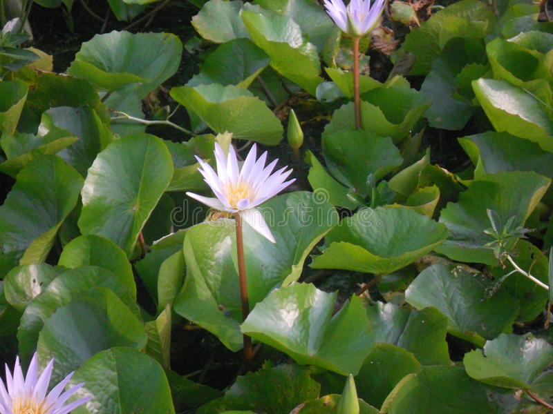 Summer dazzling purple lotus royalty free stock photo