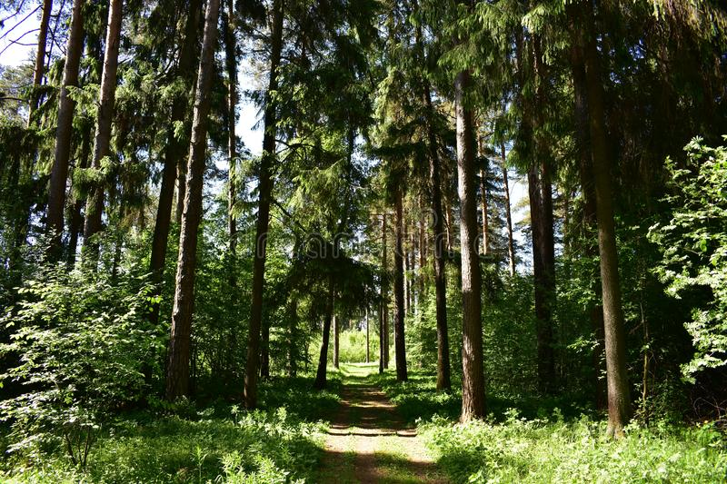 In summer, deciduous and coniferous greens argue with each other in the forest stock image