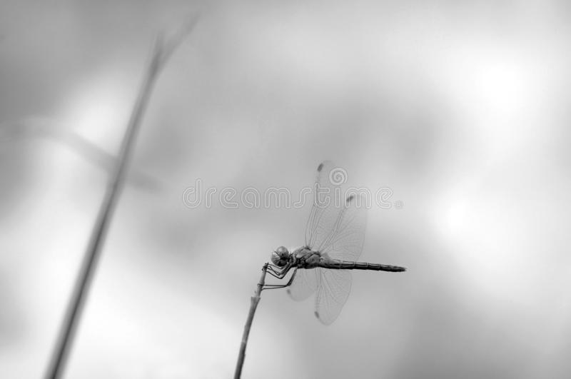 Dragonfly posed for a broom stalk stock image