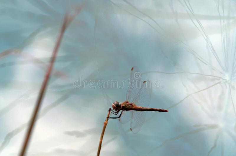Dragonfly posed for a broom stalk royalty free stock photo
