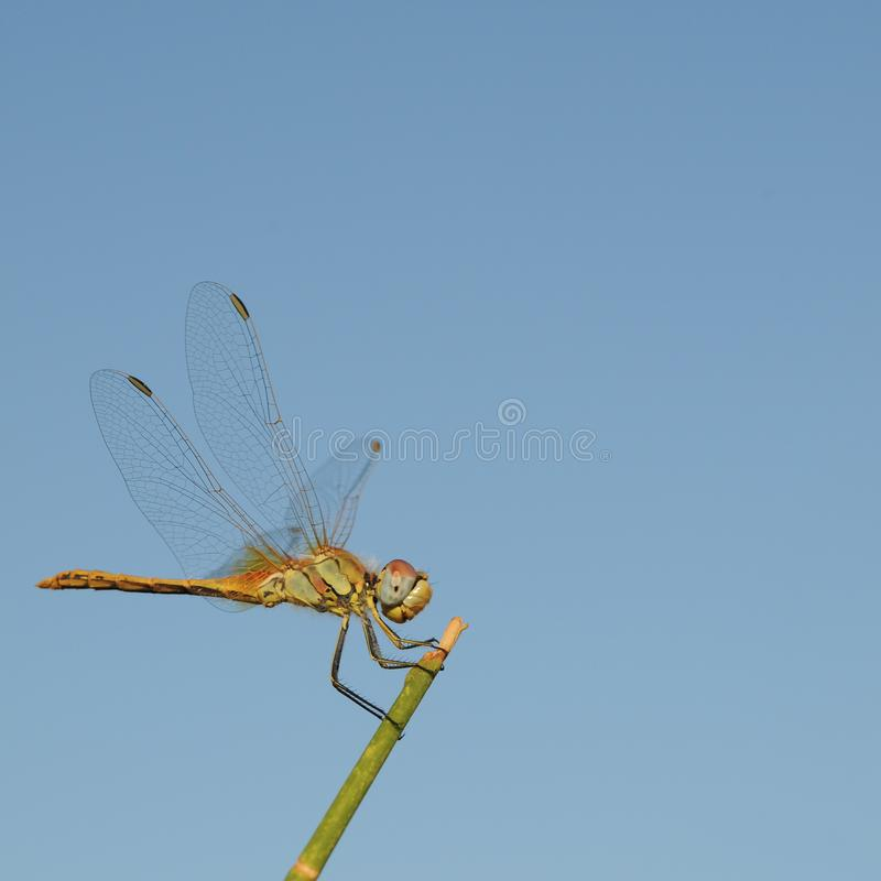 Dragonfly posed for a broom stalk stock photography