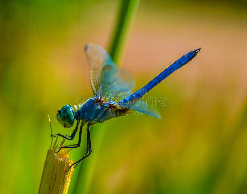 Summer Dragonfly. Colorful summer dragonfly is resting in on the sunny day stock photos