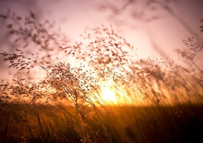 Summer Dry Grass. Long summer dry grass against a sunset stock photos