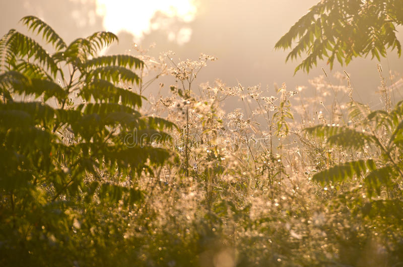 Summer end dewy morning grass and mist fog background. Summer end dewy morning grass and mist fog blur background royalty free stock photography