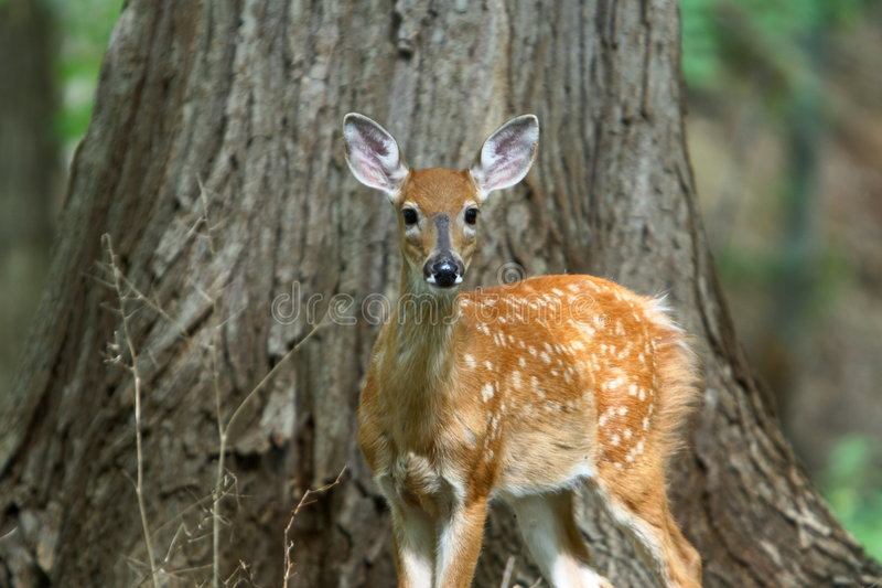 Download Summer Fawn 8 stock photo. Image of alert, mammal, hunt - 1408598