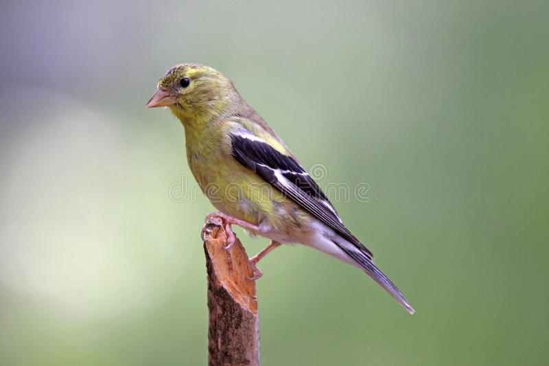 Summer Female Goldfinch royalty free stock image