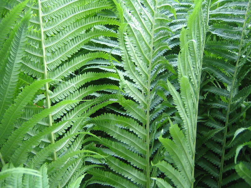 Download Summer Ferns stock photo. Image of frond, ferns, damp, moist - 207860