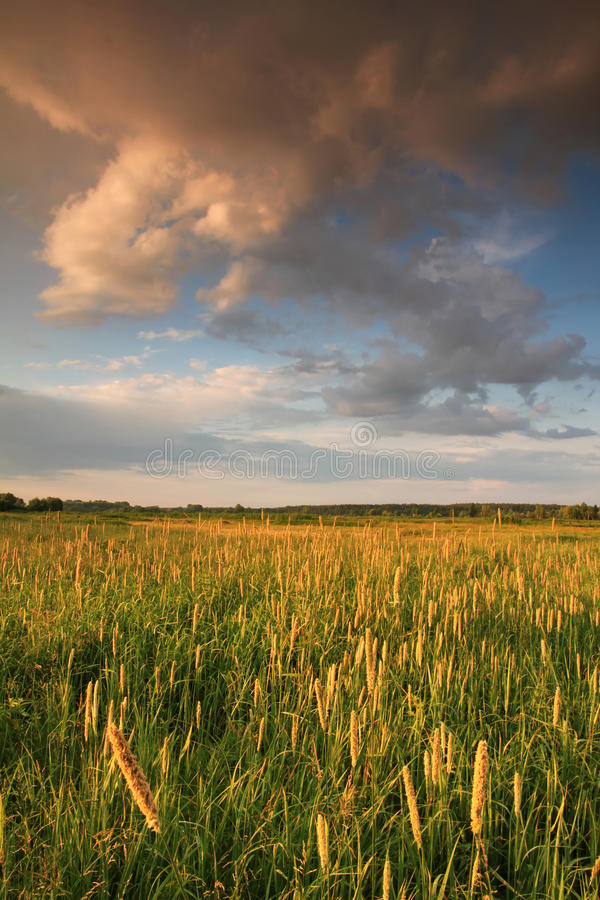 Download Summer field stock photo. Image of beautiful, gold, blue - 23091566