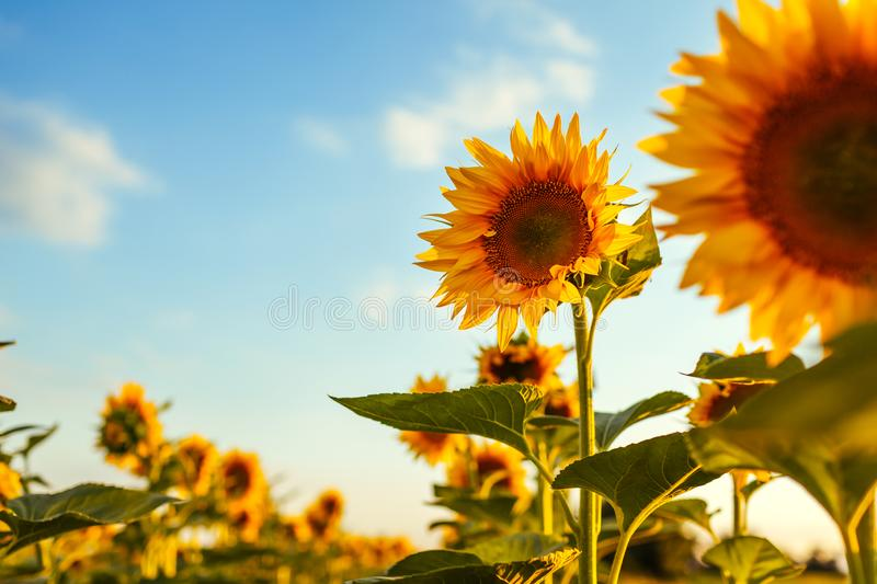 Summer field of blooming sunflowers at sunset with blue sky above. Natural background. Agriculture stock photos