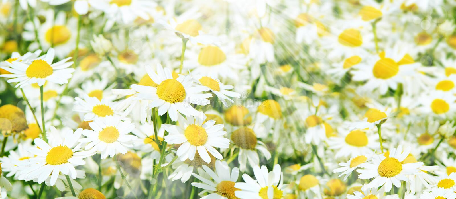 Summer field with daisies stock photo