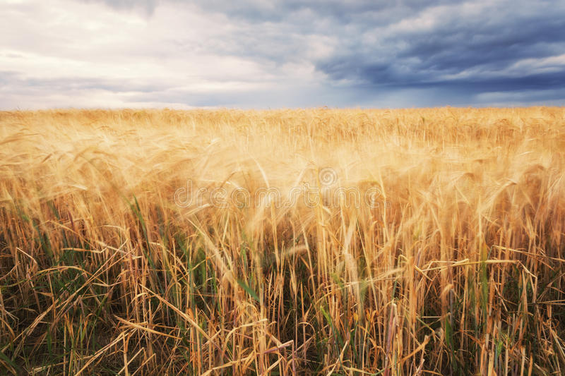 Summer field and dramatic sky before storm. Belarus stock photos
