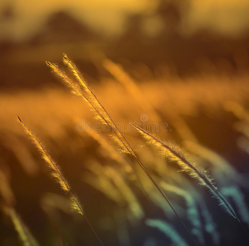 Summer or field grass. Summer or autumn field grass -Field with flower grass color of Vintage light Sunset (Imperata cylindrica Beauv royalty free stock images