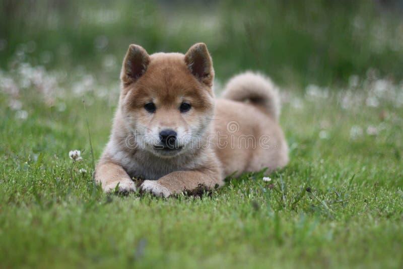 Summer field shiba inu puppy royalty free stock photos