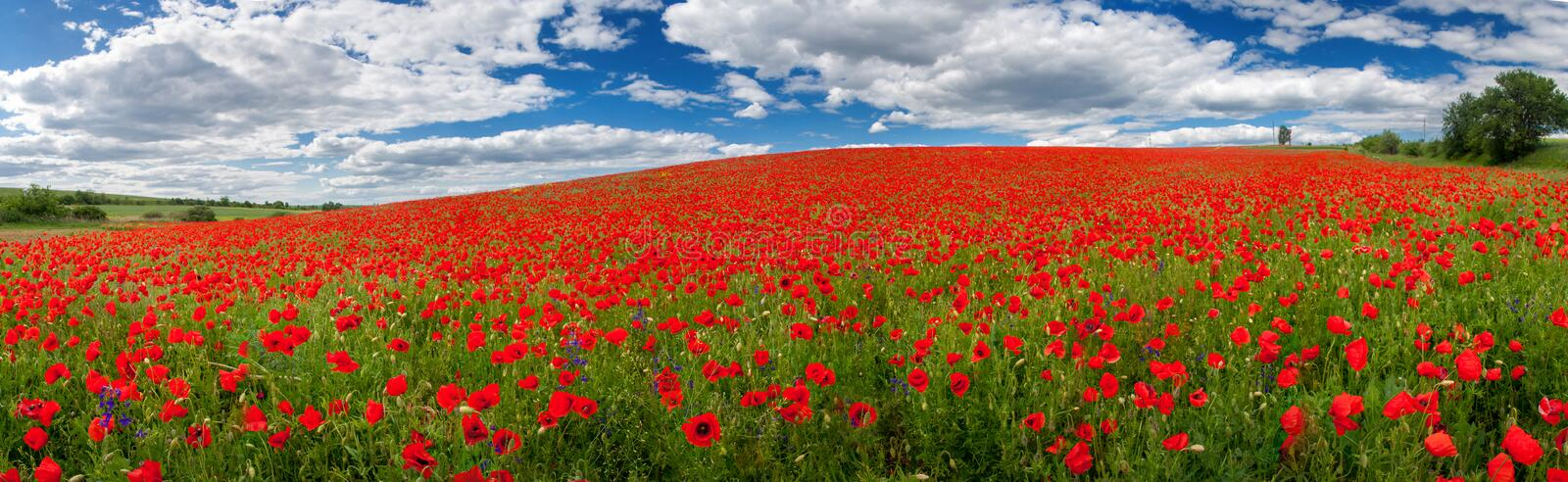 Flowers of red poppies. Summer landscape with red poppies. Panorama stock photography
