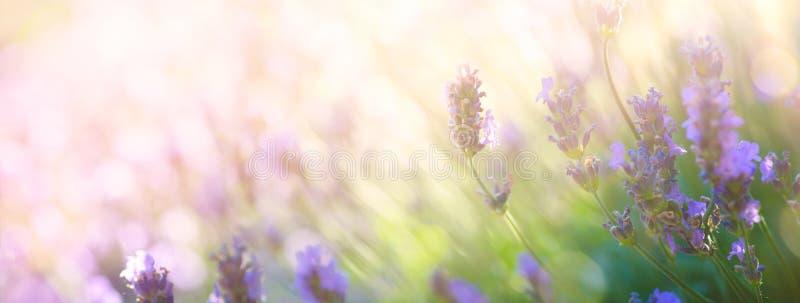Art Summer floral landscape; beautiful summer lavender flower against evening sunny sky; nature landscape background royalty free stock image