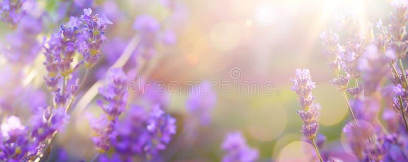 Art Summer floral landscape; beautiful summer lavender flower against sunny sky; nature landscape background royalty free stock image