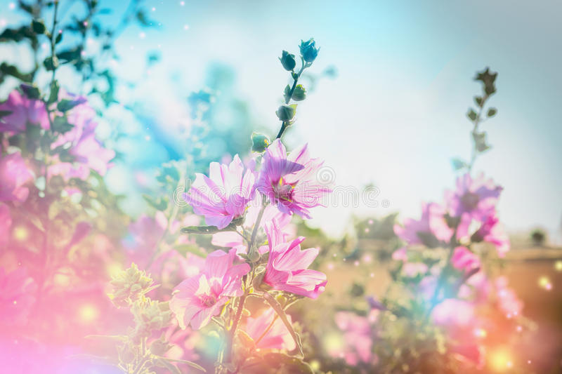 Summer floral nature background with mallow, outdoor. Summer floral nature background with mallow blooming in garden or park royalty free stock images