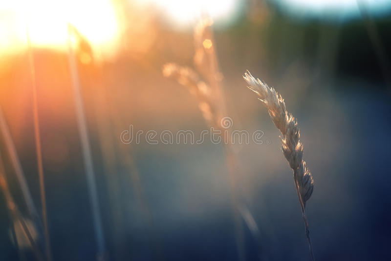 Summer dry grass / floral bokeh, blur with sunlight stock image