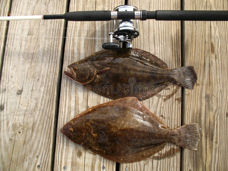 Summer Flounder Pair. Photo of pair of Summer Flounder caught off the coast of Ocean City Maryland on a headboat. The summer flounder is a popular mid-atlantic stock photography