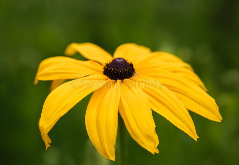Summer flower background. Bright beautiful yellow rudbeckia flower, coneflower, black eyed susan on a green blurred background. royalty free stock photo