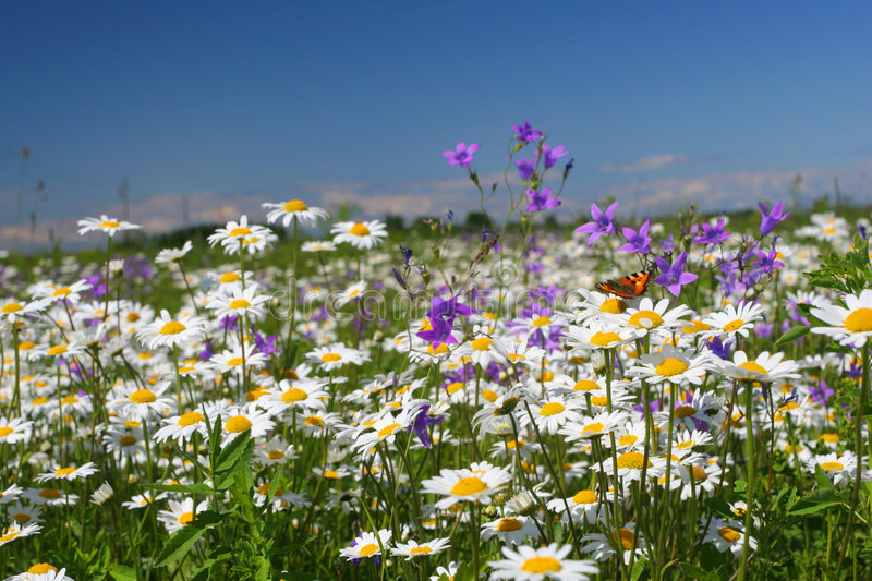 Summer flower field. Field full of chamomiles, butterflies and other flowers stock image