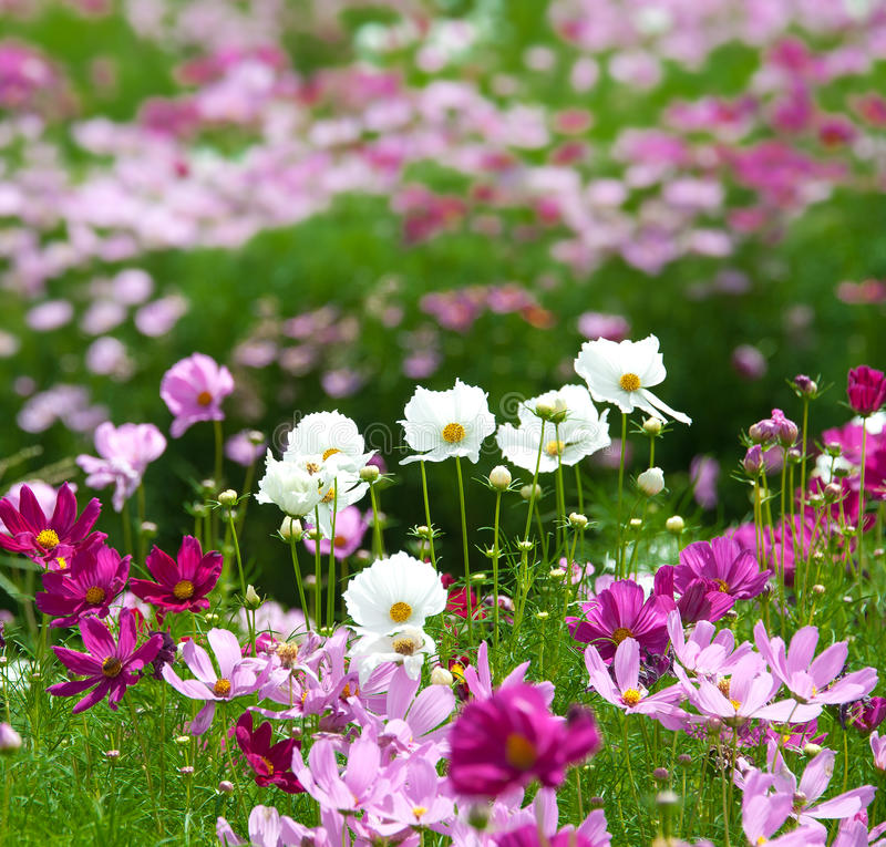 Summer flower garden. Beautiful summer flower garden with vivid color flowers royalty free stock images