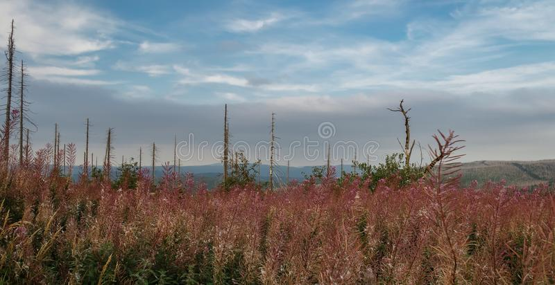 Summer flower on hill Tristolicnik with devastated trees, Sumava National Park and Bavarian Forest, Czech republic and Germany royalty free stock images