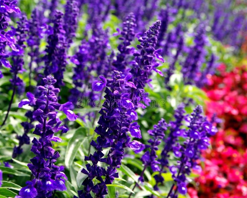 Summer flowerbed with real lavender. Lavandula angustifolia, Beautiful garden, ornamental garden, successful garden design, gardener happiness, joy of summer stock photos