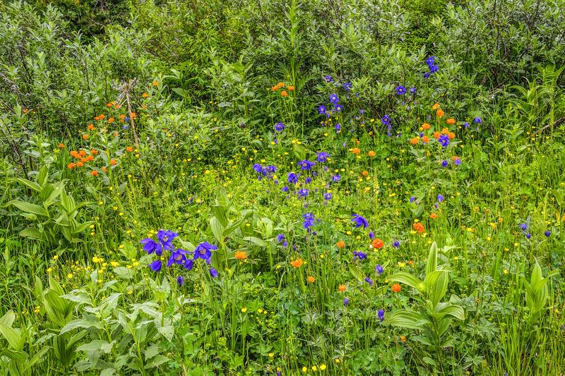 Summer flowering alpine meadow of Altai mountains, Russia royalty free stock photos