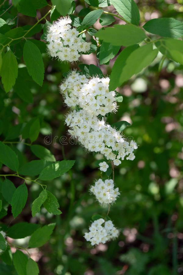 Flowering branch of white Spirea lat. Spiraea among the foliage. Vertical shot. Summer. Flowering branch of white Spirea lat. Spiraea among the foliage. Vertical royalty free stock photography