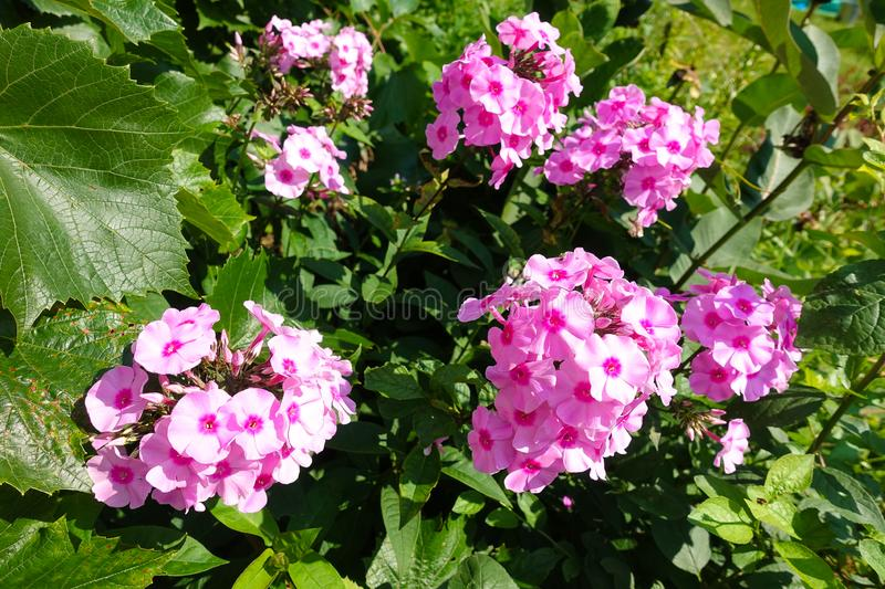 Summer Flowering Bright Pink Perennial or Garden Phlox Phlox paniculata Light Pink Flame `Bareleven.  royalty free stock photography