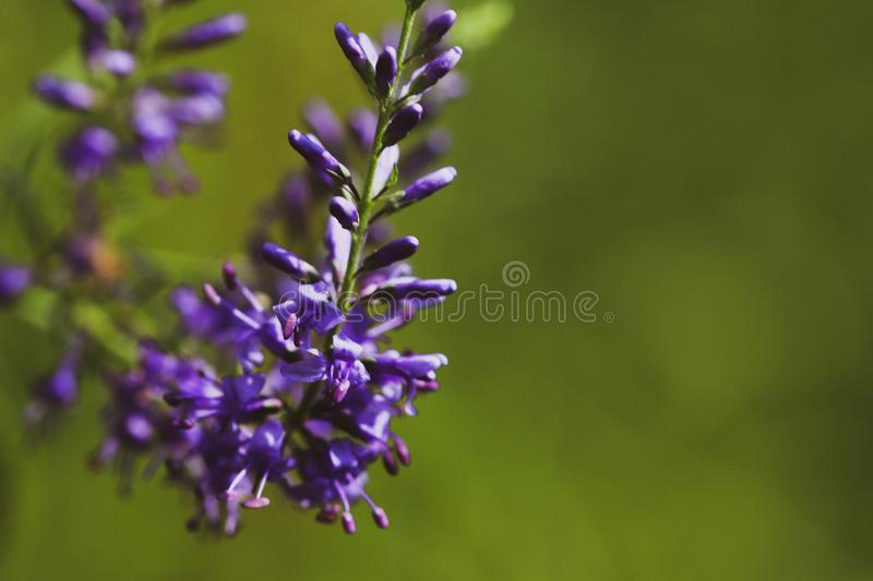 Summer flowering Purple Spiked Speedwell. Field wild flower Veronica close-up on a blurred backdrop. stock photography