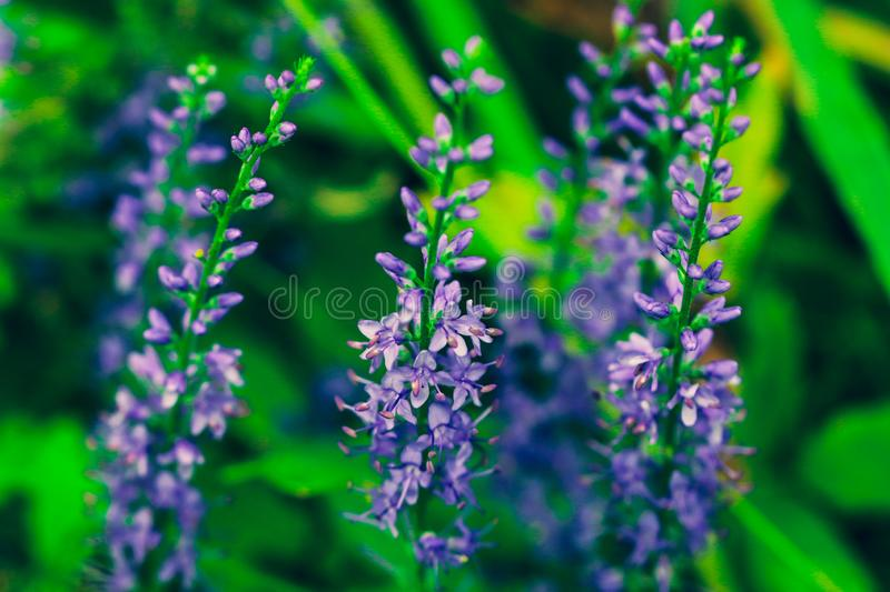 Summer flowering Purple Spiked Speedwell. Field wild flower Veronica close-up on a blurred backdrop. royalty free stock images