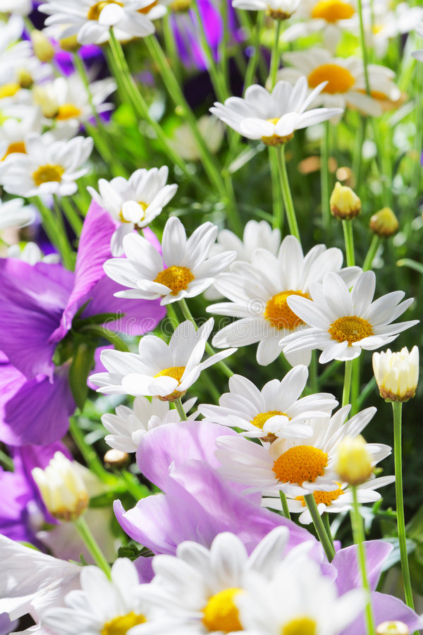 Summer flowers. White daisies and other flowers stock images