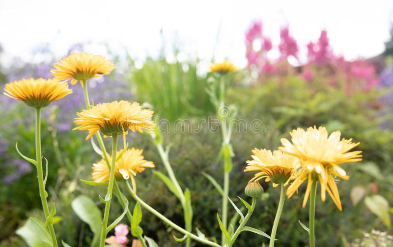 Summer flowers blooms yellow pink violet green stock photos