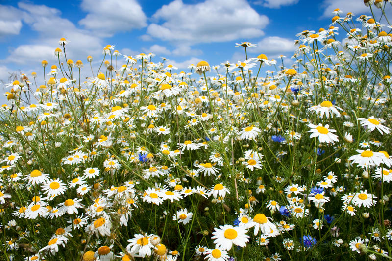 Summer flowers field. Summer flowers - wild marguerite daisy blooming on the field stock image