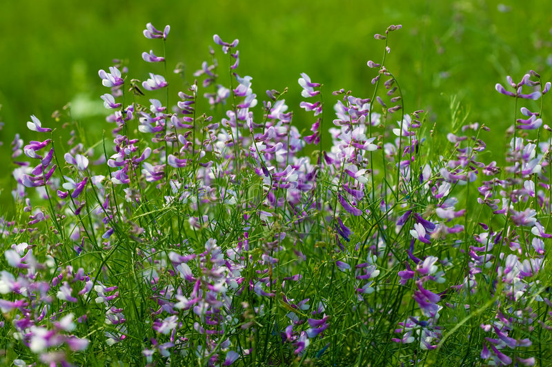 Summer flowers of the field royalty free stock photo