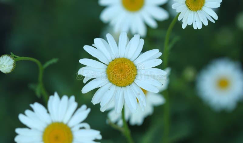 Summer flowers in garden. Chamomiles summer flowers in garden, floral stock images