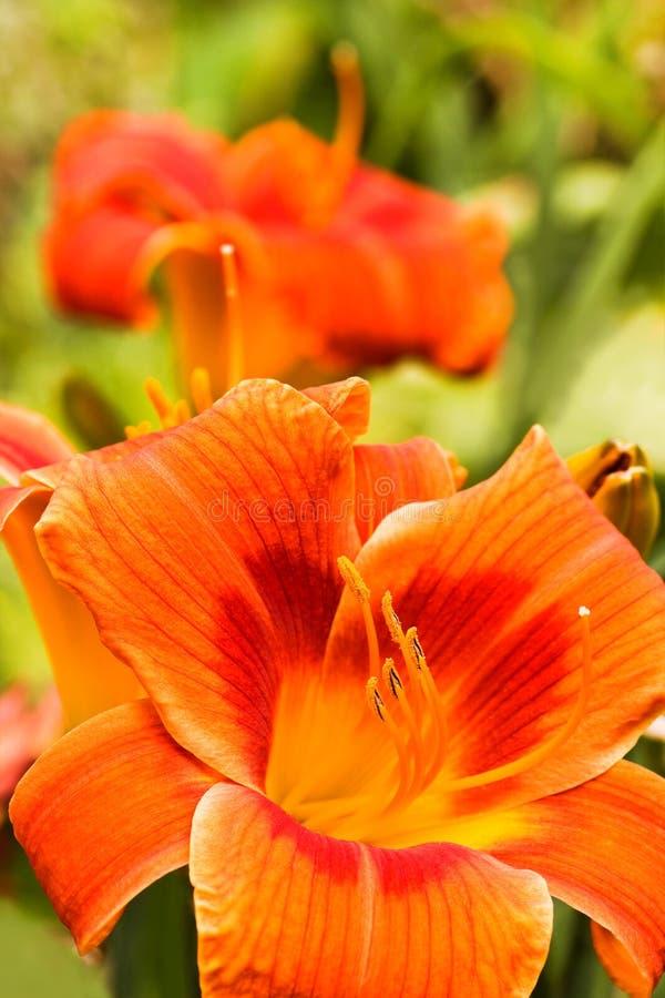Summer flowers Orange daylilies royalty free stock photo