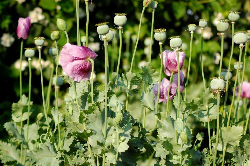 Download Summer flowers, poppies stock image. Image of purpule - 25581475