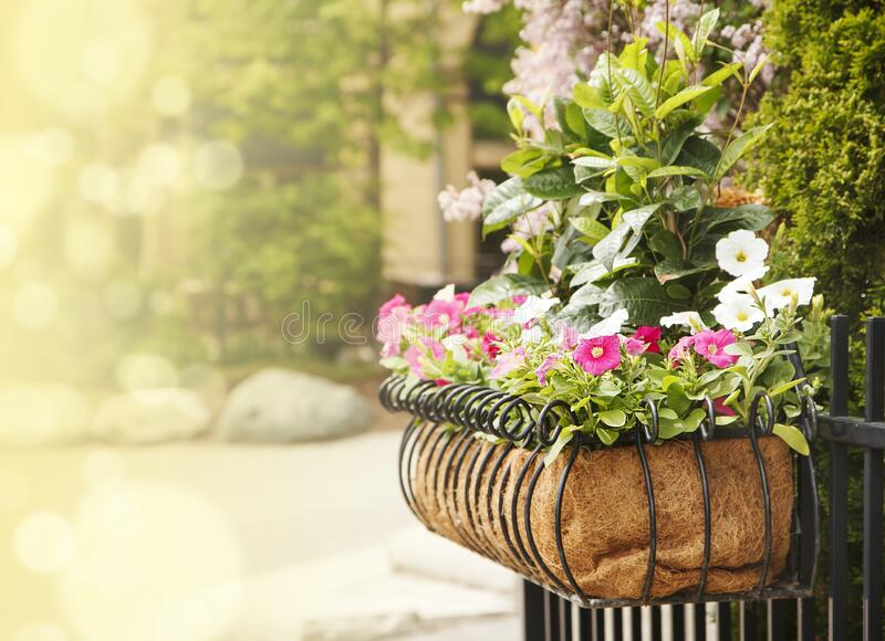 Summer flowers in pot royalty free stock photo