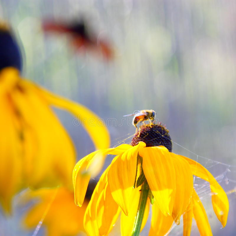 Summer flowers - Rudbeckia flower background royalty free stock image