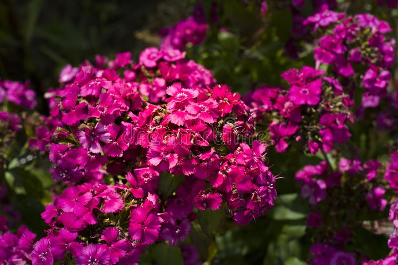 Summer flowers. Small bright pink flowers close up. Big scarlet flowers on a dark blurred background royalty free stock image